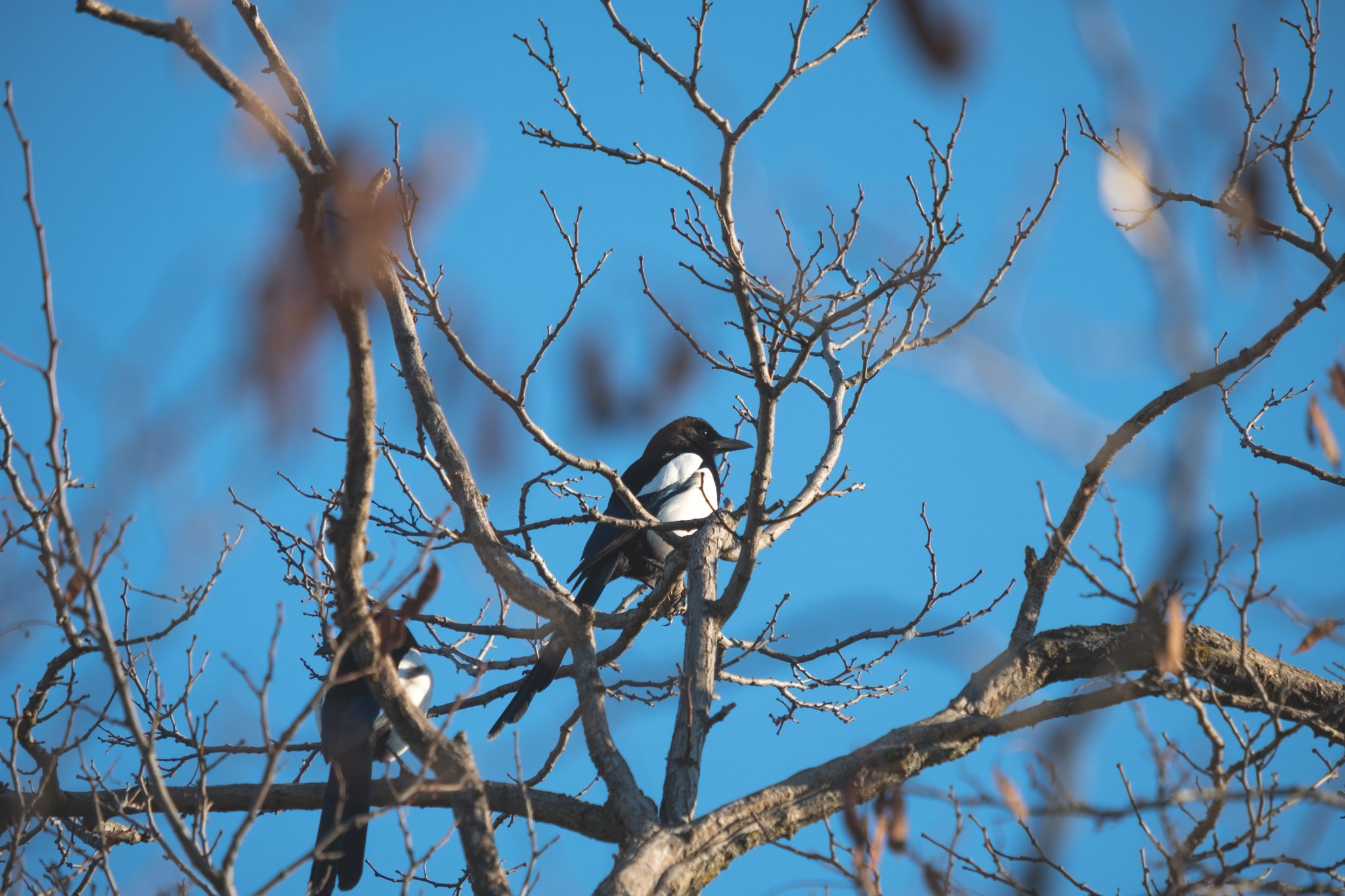 Magpie in a tree in Madrid by Jo Kassis